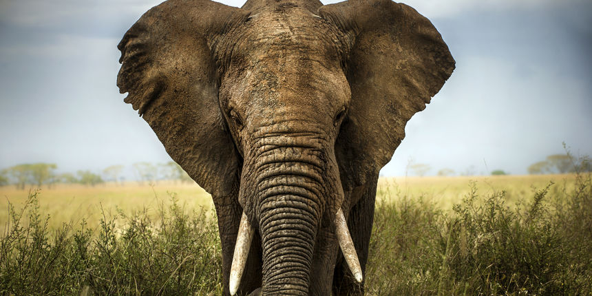 Surla slona sadri oko 100000 miia