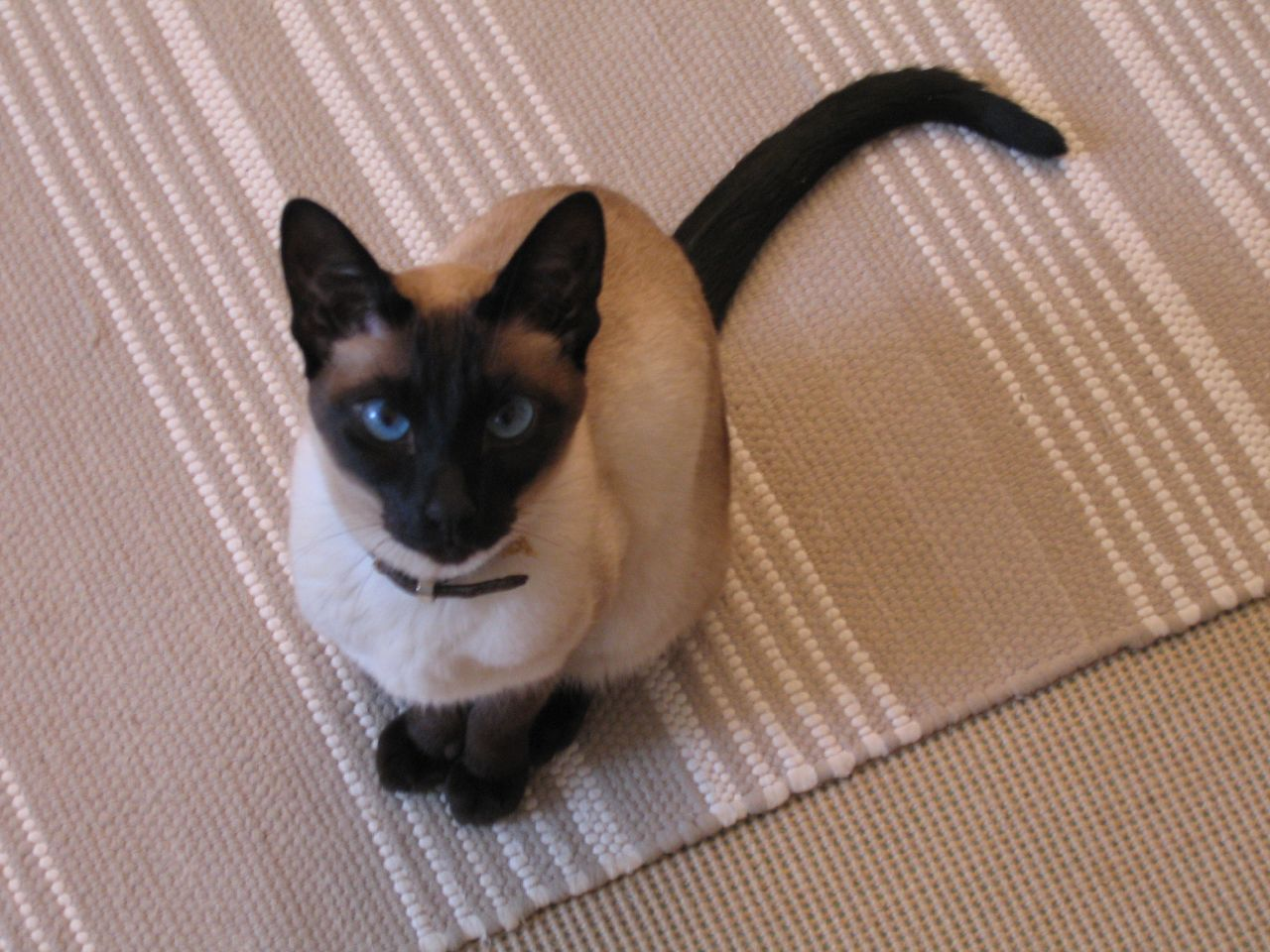 Siamese_cat_sitting
