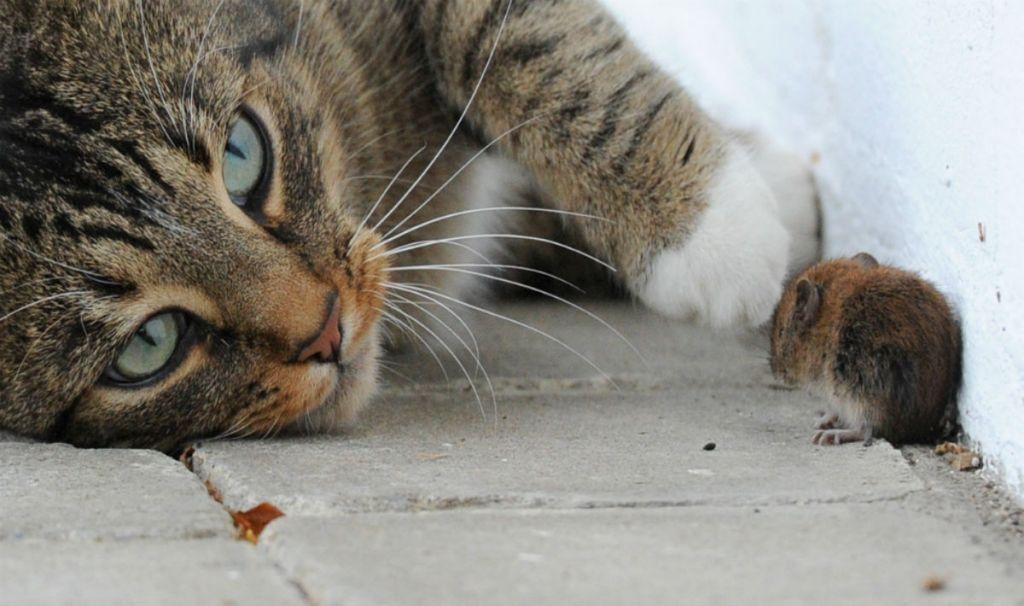 gatto col topo