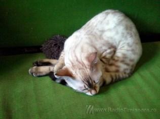 pisica bengaleza 2