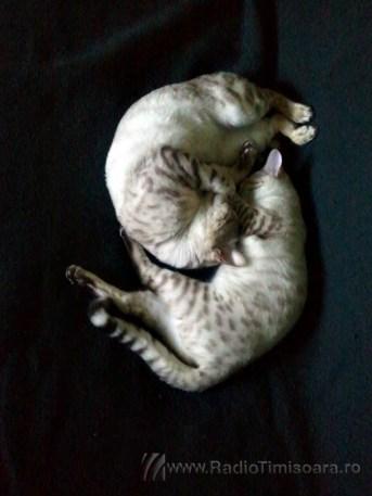 pisica bengaleza 16