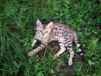 pisica bengaleza 14
