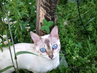 pisica bengaleza 5