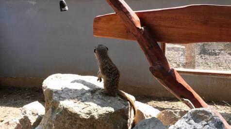 suricate zoo timisoara (1)