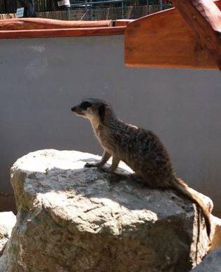 suricate zoo timisoara (3)