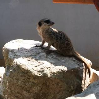 suricate zoo timisoara (6)