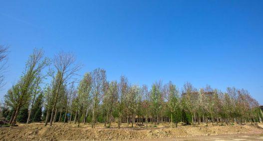 arbori parc openville (6)