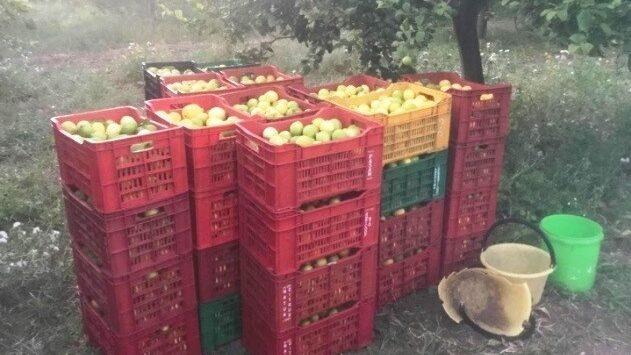Avola, la Polizia denuncia un uomo per furto di limoni