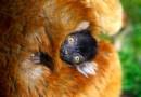 Zoo Planckendael viert geboorte van moormaki, een erg bedreigde diersoort