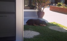 Working outdoors. Me doing backups, him on his chew toy. #SoCal #rottweiler