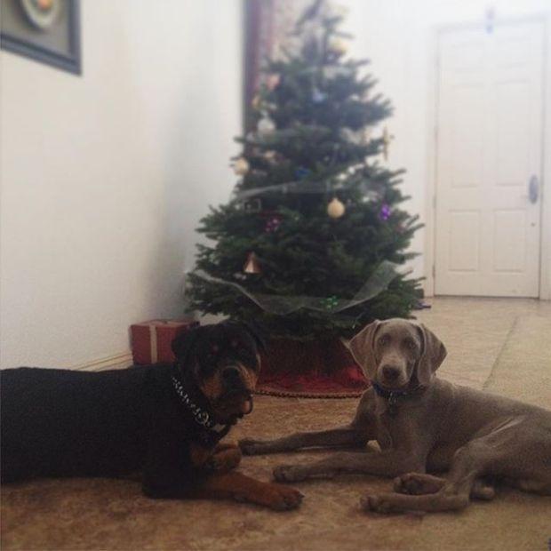 H & K by the Christmas tree. #rottweiler #weimaraner #dogaunt