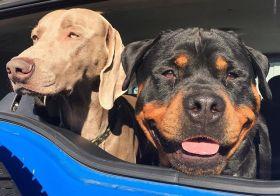 A dozen days 'til I get to see these two again ^_^ #dogsofinstagram #weimaraner #rottweiler #dogaunt #nofilters [instagram]