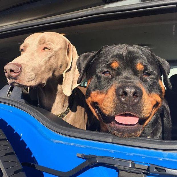 A dozen days 'til I get to see these two again ^_^ #dogsofinstagram #weimaraner #rottweiler #dogaunt #nofilters