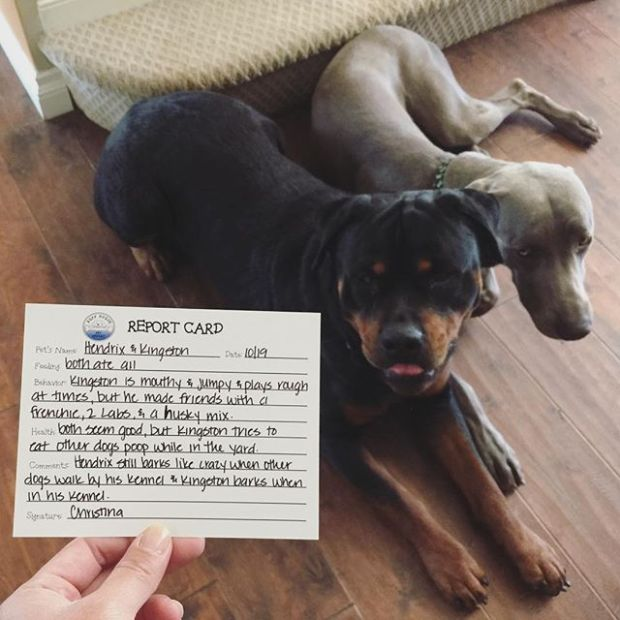 """After picking up my dog nephews last Thursday at their """"Pet Resort"""", there was a report card in their bag. Kingston was sorry but Hendrix couldn't care less! #dogsofinstagram #rottweiler #weimaraner #dogaunt"""