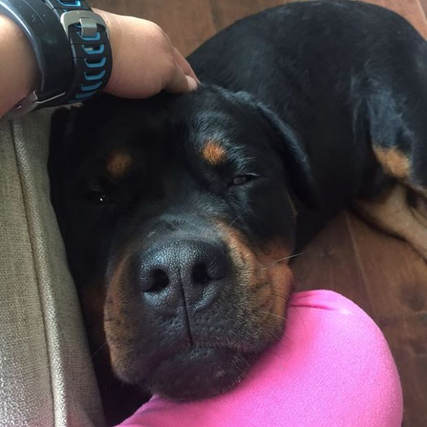 What an adorable 100+ lbs teddy bear! #dogsofinstagram #rottweiler #dogaunt