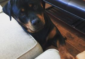 Good morning, Auntie. I ride with you, yes? #rottweiler [instagram]