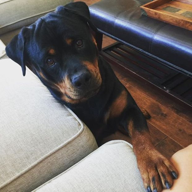 Good morning, Auntie. I ride with you, yes? #rottweiler