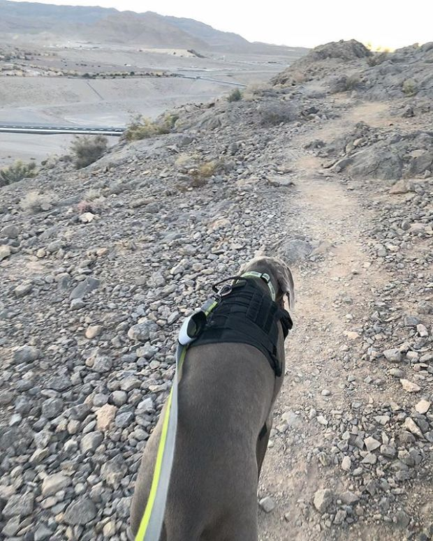 Last night, Kingston wore his Ruck Vest and we went up Lone Mountain (to the saddle). He did great! Hoping he'll do well for this weekend's ruck march up Black Mtn 🤣
