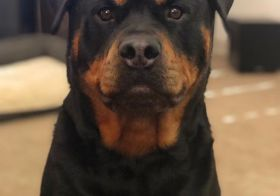 His photo, if Hendrix got a driver's license…  #rottielove [instagram]