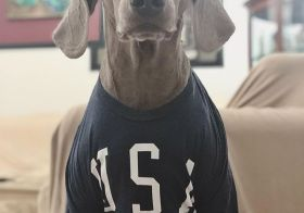 Kingston is ready for round 2 of @fifawomensworldcup Guess who he's cheering for? @uswnt of course! #usavseverybody #weimaraner [instagram]