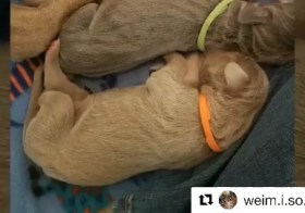 Thank you for making this sweet video! 🧡 #Repost @weim.i.so.cute with @get_repost・・・Sterling (Orange) went to his new home! He is going to live in Las Vegas, NV with @radragon. She made him his own IG account! – @sterlingd.weim🧡🧡🧡________________________________________________#weimisocute#weimpuppies #weimaraner #weim #weimlove #weimobsessed #weimaranersofinstagram #instaweim #greyghost #weimsofinstagram #weimaraners #weimaddict #weimaranersofig #weimlife #weimtime #coloradodogs #weimy #weimstagram #weimlover #ilovemyweim #weimoftheday #weimsofig #weimcrazy #weimshavemorefun #weimaranerlife #weloveweimaraners #weimaranerIG [instagram]