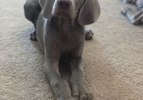 Happy National Dog Day (or to me, Monday lol). Here's my future running boi, Sterling! #werunwoofyou @nathansportsinc #nationaldogday #weimaraner #weimpuppy [instagram]