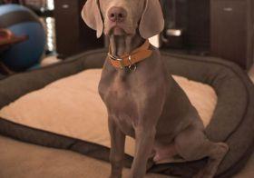 Sterling.  : @pupscoutsdogtraining . . .#weimaraner #weimpuppy #puppiesofinstagram #majesticaf #bestdogtrainer #lasvegasdogtrainer [instagram]