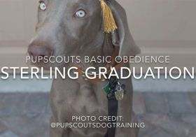 I'm stunned, too My boi @sterlingd.weim turned 20 weeks today and yesterday, he completed the @pupscoutsdogtraining Basic Obedience program ️ #proudmum #dogmum #weimaraner #weimpuppy #puppiesofinstagram  @pupscoutsdogtraining  Elgar's Pomp & Circumstance (Public Domain) [instagram]