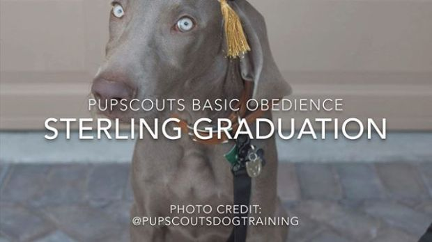 I'm stunned, too My boi @sterlingd.weim turned 20 weeks today and yesterday, he completed the @pupscoutsdogtraining Basic Obedience program ️ #proudmum #dogmum #weimaraner #weimpuppy #puppiesofinstagram  @pupscoutsdogtraining  Elgar's Pomp & Circumstance (Public Domain)
