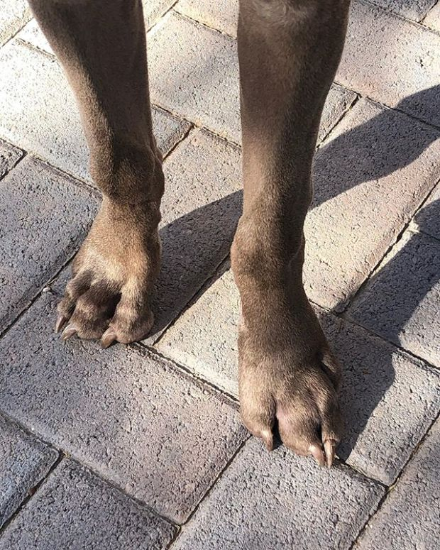 Paw update: 10am yesterday vs 7am today. Progress! Again, no pain and he's taking the rest of the Amoxicillin (he's done/ finished the Diphenhydramine and the Carprofen). Weimaraner Pupper = high energy! So we played fetch, went to the dog park, worked on commands, trimmed his nails whilst he worked on a bully stick (attached to @bowwowlabs holder), and finally, nap time 🤣 #weimaraner #puppychronicles #puppiesofinstagram #weimlife
