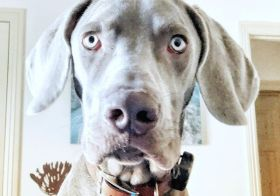 My everyday view. His daily demands, my daily corrections; thankfully no #weimcrime or serious shenanigans… yet 🤣 #weimaranersofinstagram #dogsofinstagram #weimaraner #weimlove [instagram]