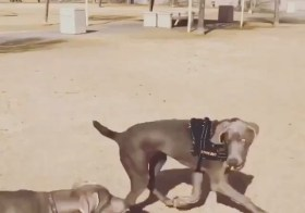 Rest in peace, Tiva This 1yr old Weimaraner was Sterling's friend (she's the one without a harness in the video). They've only had a few play dates but hit it off that first time they met each other. If you have it in your heart, pls visit the link in my bio for Tiva's @gofundme for her furmom. 🏽#Repost @sterlingd.weim with @get_repost・・・Hi frens. I has sad news to share. Idk exactly wot it means but mum said I won't see my fren Tiva for a while. I asked if she moved away like my cousins @hendrixandkingston ? Mum said in a matter of speaking. This makes me sad. I had great fun playing with Tiva together with our friend Schwifty. Mum also wanted me to share a link to help Tiva's own fur mum. Click on my bio & if you can help, Tiva's mum will appreciate it. Bye my fren 🥺🧡#weimaraner #weimsofinstagram #weimlove #restinpeace #crossingtherainbowbridge  #weimaranerpuppy #dogsofinstagram #gofundme #puppiesofinstagram [instagram]