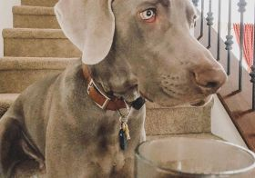 """This morning & every morning, @sterlingd.weim does his best to """"leave it"""" because coffee ≠ doggos! It's ☠️ for him even though he really REALLY wants to just have a taste of this magic elixir.😬 #puppychronicles #weimaraner #motherpupper #dogmum #weimsofinstagram #dogsofinstagram [instagram]"""
