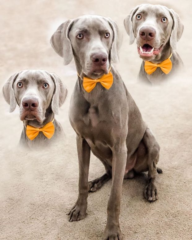 """In a fortnight, this boi turns ONE. He'll have a small celebration with us and then we're hoping that on his Gotcha Day (1st August) some Social Distancing restrictions are lifted and then he can have a proper pawty with his """"frens""""  In the meantime, please enjoy his glamour shots portrait 🤣#weimsofinstagram #weimaraner #motherpupper #dogsofinstagram"""