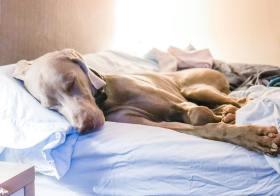 Let sleeping dogs lie… or else #dogsonbeds #sleepydog #weimaraner #weimsofinstagram #dogsofinstagram #dontwakethebaby [instagram]