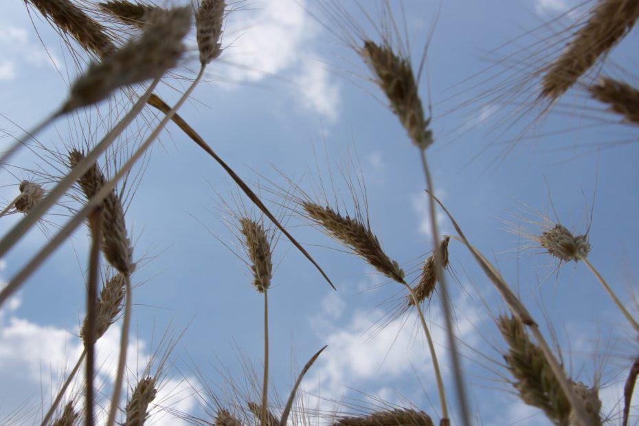 Getreide von Unten