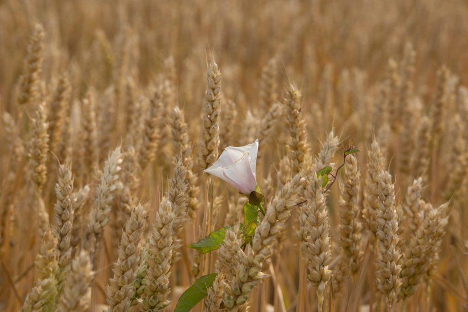 Weisse Winde im Getreidefeld