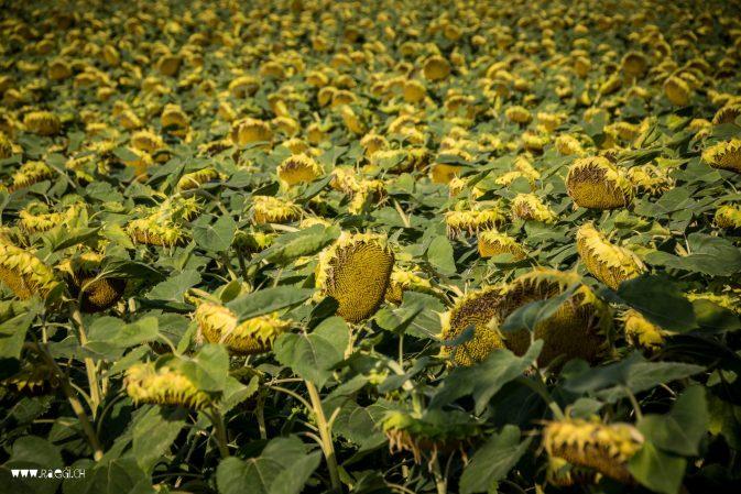 verblühte Sonnenblumen