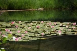 Seerosen auf dem Egelsese