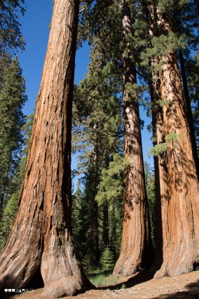 The Mariposa Grove