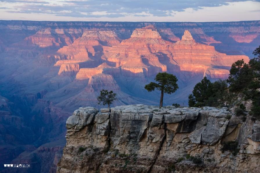 Pinyon Pine on the edge of Grand Canyon South Rim