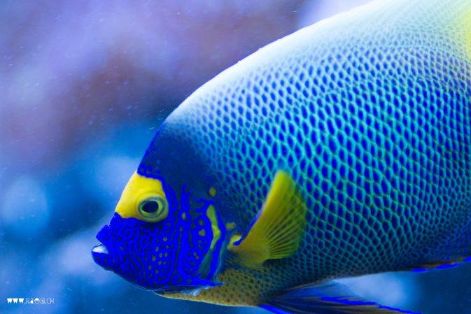 Blauer Aquarium Fisch
