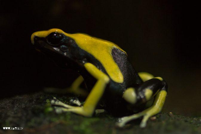Kleiner schwarz gelber Frosch