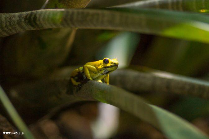 kleiner gelber Frosch