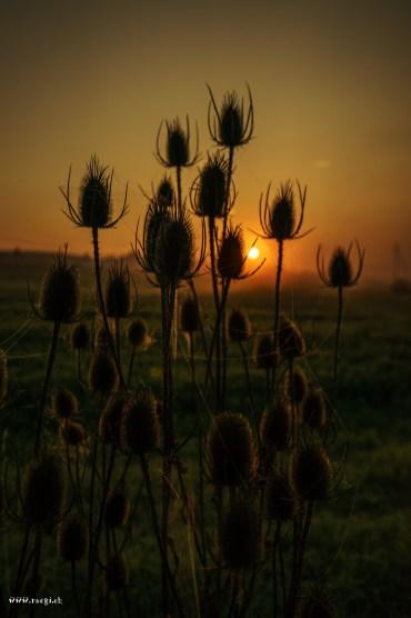 Die Wilde Karde im Sonnenaufgang