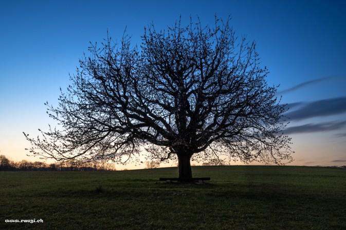 Kirschbaum im Fricktal