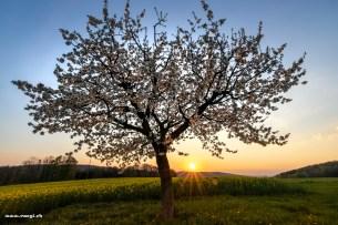 Abendstimmung im Fricktal mit Kirschbaum