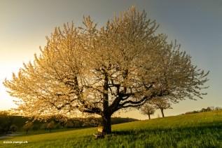 Goldene Stunde unter einem Kirschbaum im Baselland