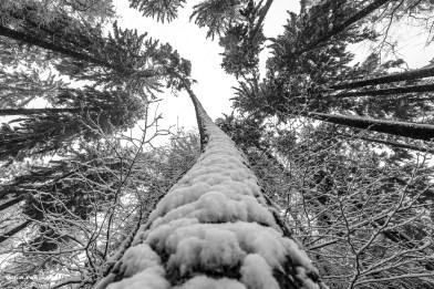 ein krummer Baum mit Schnee