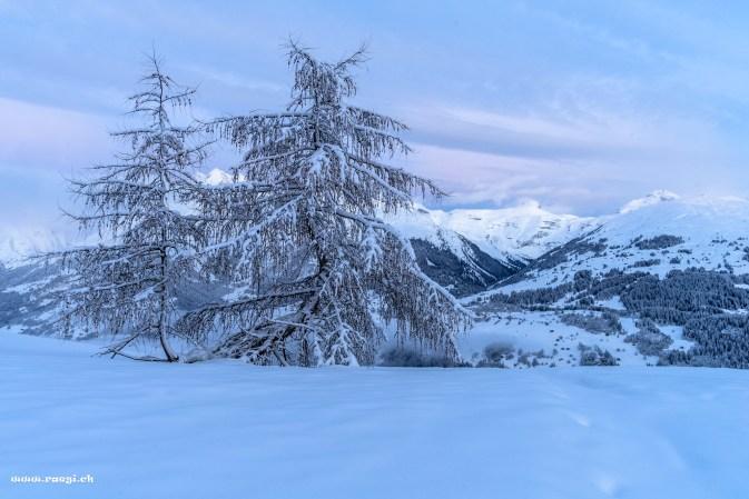 Verschneiter Baum in den Bündner Bergen
